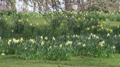 Springtime Daffodils in a woodland park - stock footage