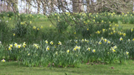 Stock Video Footage of Springtime Daffodils in a woodland park