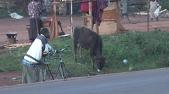 Cow and man with his bicycle next to road Stock Footage
