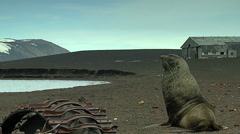 Sea?lion among ruins Stock Footage