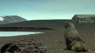 Stock Video Footage of Sea?lion among ruins