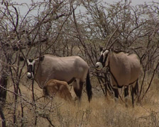 East African Oryx or Oryx beisa, in savannah with young breeding Stock Footage