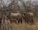 Stock Video Footage of East African Oryx or Oryx beisa, in savannah with young breeding