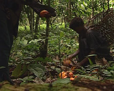 Pygmy tribe in Africa working harvesting cocoa. Cacao fruits on the tree Stock Footage