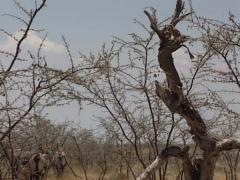 East African Oryx or Oryx beisa, in savannah Stock Footage