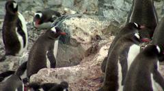Gentoo Penguin colony Stock Footage