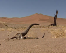 Springbok Skull in the Namib-Naukluft National Park Stock Footage