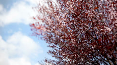 Prunus cherry tree in bloom waving in the wind. Stock Footage