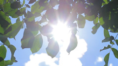 Sun Shining through Green Walnut Tree Leaves, Natural Energy HD Stock Footage