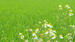 Green paddy field with butterflies and flowers - stock footage