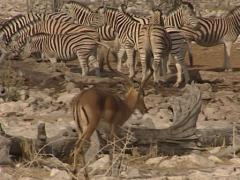 Grant's Gazelle Stock Footage