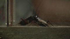 Crickets fighting in house Stock Footage