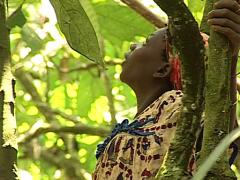 Pygmy tribe in Africa working harvesting cocoa, Cacao fruits on the tree Stock Footage