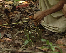 Lacandon hunter making a trap or snare in the jungle of Palenque Stock Footage