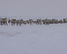 Reindeer In Snow Eating Stock Footage
