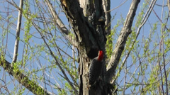 Amid Nature - Red Bellied Woodpecker Stock Footage