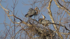 Amid Nature - Great Blue Herons Love Birds Mating in Nest Stock Footage