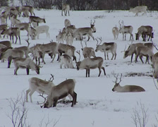 Reindeers in the snow Stock Footage