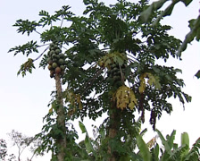 Unripe fruit of the papaya Stock Footage