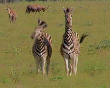 Two zebras facing camera showing their teeth and bucking their heads Stock Footage
