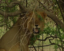 King of the jungle Stock Footage