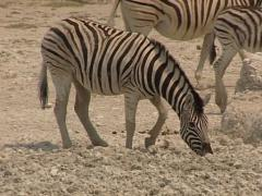 Zebra looking water in the mud Stock Footage