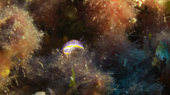 Underwater footage fish doris spotted corsica corse mediterranean Stock Footage