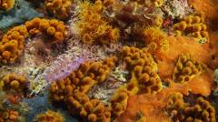 Underwater footage flabell anemone corsica corse mediterranean Stock Footage