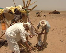 Berber killing and flaying a goat Stock Footage