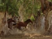 Stock Video Footage of Horses running across a trees