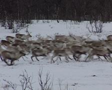 reindeers in the snow - stock footage