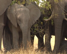 African Elephants savannah - stock footage