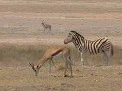 Gazelle Thomson-Eudorcas thomsonii and zebras in savannah Stock Footage