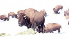 Bison Eating Hay in Winter Stock Footage