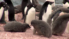 Stock Video Footage of Adelie penguins and chicks
