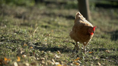 Chicken walks around in search for the food Stock Footage