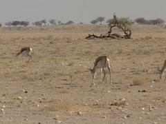 Gazelle in the savannah Stock Footage