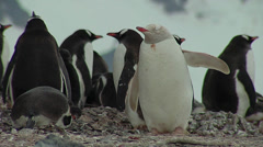 Albino gentoo penguin Stock Footage