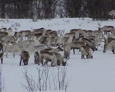 Reindeers in the snow Stock Footage