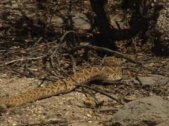 Western diamondback rattlesnake Mexico Stock Footage