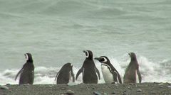 Magellanic penguin colony in the beach Stock Footage