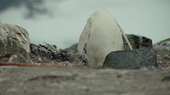 Stock Video Footage of Albino gentoo penguin