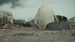 Albino gentoo penguin Stock Footage