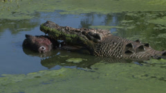 Crocodile eating a boar head Stock Footage