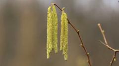 Corylus avellana, Hazelnoot male flowers Stock Footage