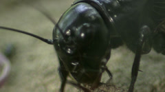 Stock Video Footage of Crickets in the wildlife