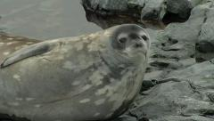 Seal lying on rocks scratching Stock Footage