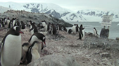 Gentoo Penguin colony, snowy mountains at the background Stock Footage