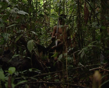 Punans go hunting Stock Footage