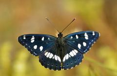 Southern White Admiral butterfly Stock Photos
